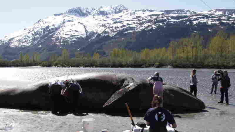 Why Are Gray Whales Dying? Researchers Cut Through The Blubber For Answers