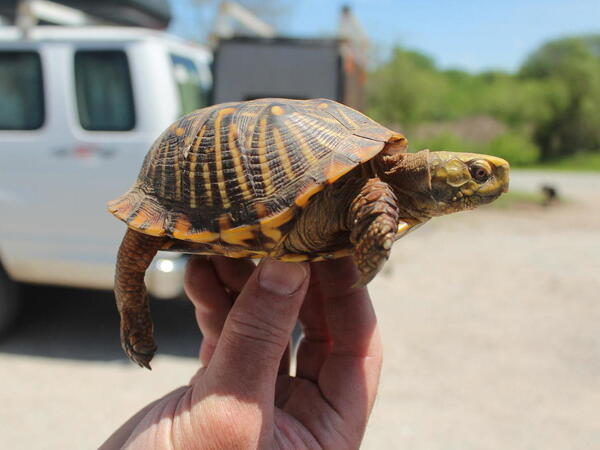 Ornate box turtles once roamed Iowa's native prairies along with herds of wild bison. The turtles' habitat was largely destroyed when European settlers plowed the state's grasslands.