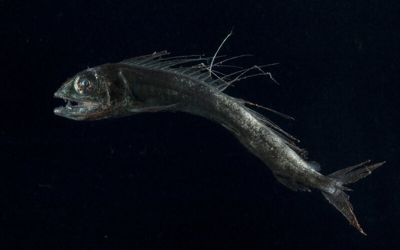 Microplastics Have Invaded The Deep Ocean — And The Food Chain Lancetfish_custom-02faa1c389e0d9ce70ecb22675a1049526afb1f3-s800-c85