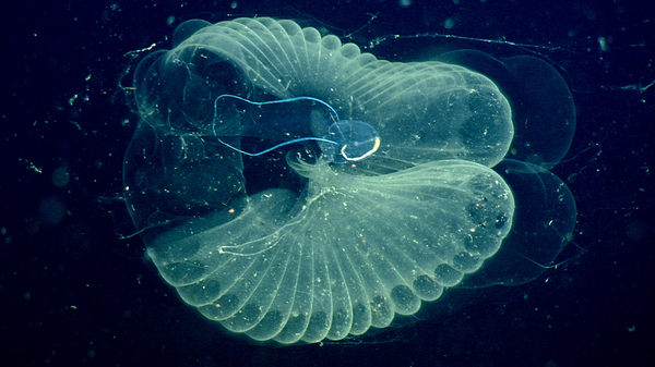 The deep ocean is filled with sea creatures like giant larvaceans. They