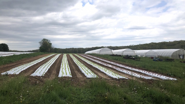 Lettuce sprouts amid rows of plastic covering the ground at One Straw Farm, an organic operation north of Baltimore. Although conventional farmers also use plastic mulch, organic produce farms like One Straw rely on the material even more because they must avoid chemical weed killers, which are banned in organic farming.