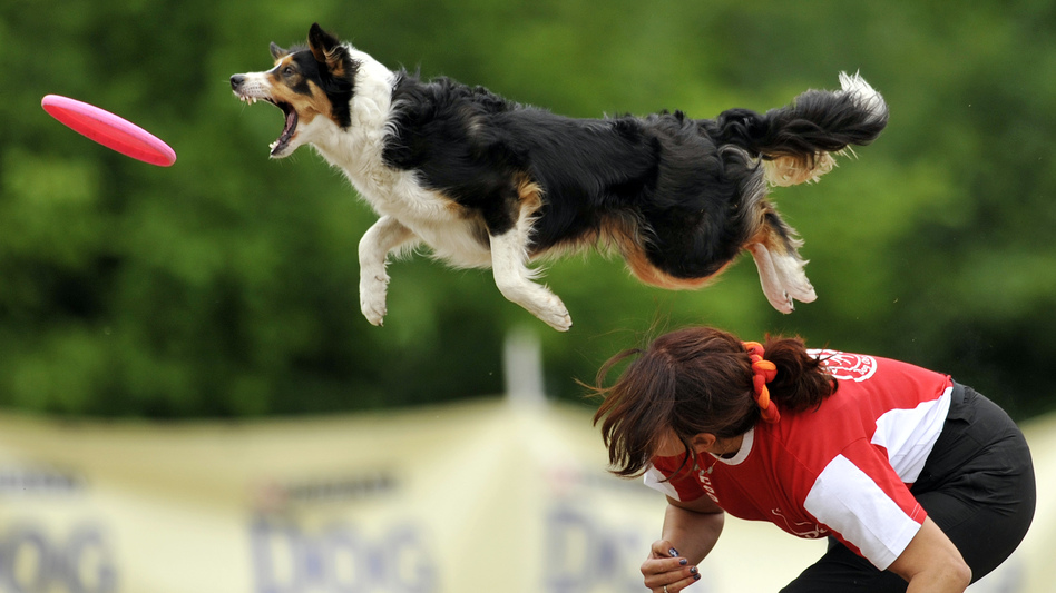 A border collie jumps to catch a flying disc during a competition. New research suggests that dog stress mirrors owner stress, especially in dogs and humans who compete together. (Bela Szandelszky/AP)