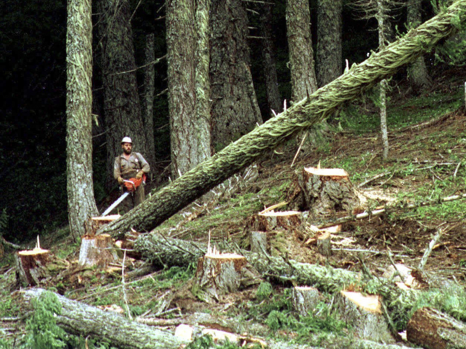 A logger cuts a large fir tree in the Umpqua National Forest near Oakridge, Ore. Federal land managers are proposing a sweeping rule change that could expand commercial logging on Forest Service land. (Don Ryan/AP)