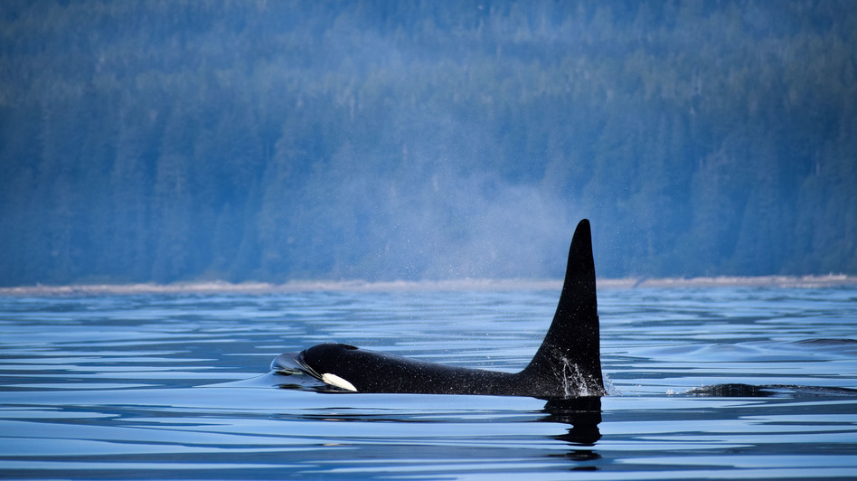 An orca surfaces near Vancouver Island, Canada. The country's Parliament has passed legislation banning the practice of breeding and holding dolphins, whales and porpoises in captivity. (VW Pics/Universal Images Group via Getty Images)