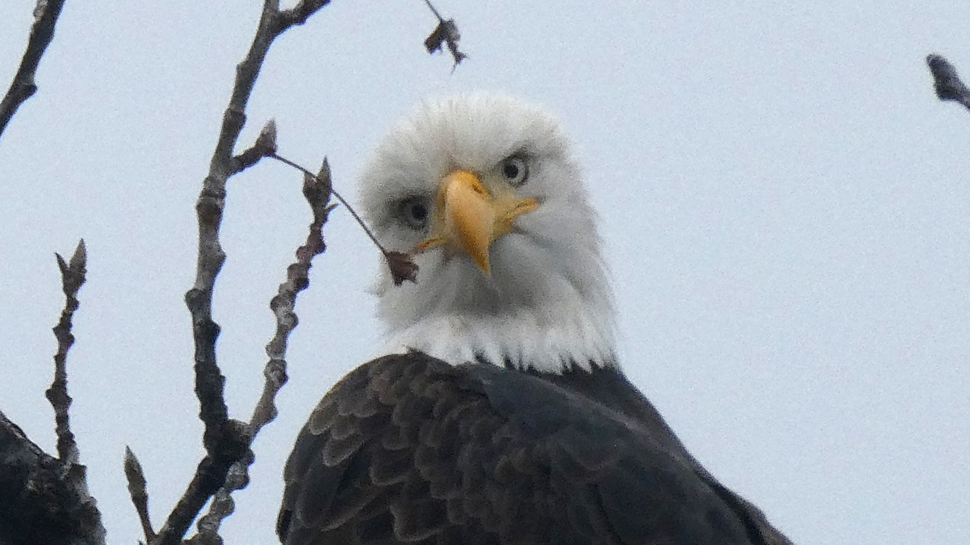 Swimming Eagle: Bald Eagle Caught In Viral Video : NPR