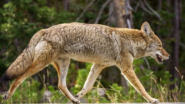 A coyote runs down the road in Yellowstone National Park in Wyoming. In 2018, a program of the Agriculture Department killed more than 68,000 coyotes in the U.S., including 5,600 just in Wyoming.