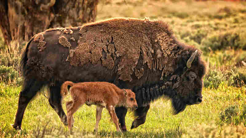 Opinion: Here's A Dad Joke! What Does The Buffalo Tell His Son In The Morning?