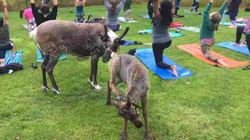 Move Over, Goat Yoga. Alaskans Now Have Reindeer Yoga