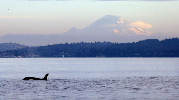 A southern resident orca whale swims in Puget Sound in view of Mount Rainier in 2014. (Elaine Thompson/AP)