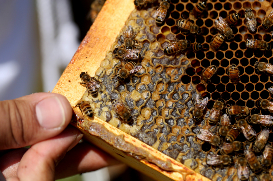 Bees crawl over larvae and capped honey cells on a hive frame. Larvae are especially vulnerable to pests like <em>Varroa</em> mites. (Olivia Falcigno/NPR)