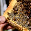 Vairāk sliktu bišu buzz: Rekordliels medus bišu saimes, kas nomira pagājušajā ziemā