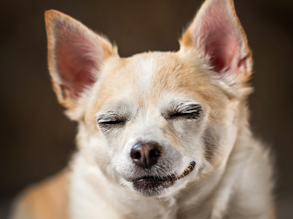 THC, a key psychoactive ingredient in marijuana, is toxic to dogs, veterinarians warn. So keeping dogs away from discarded joints, edible marijuana or drug-painted poop is important. (Hillary Kladke/Getty Images)