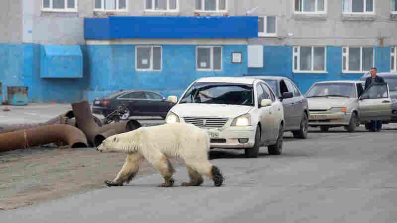 'Starving' Polar Bear Wanders Into Siberian Town