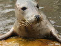 """Researchers trained Zola the seal to """"sing"""" the <em>Star Wars</em> theme song."""