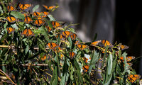 Thousands of monarch butterflies gather in the eucalyptus trees at the Pismo State Beach Monarch Butterfly Grove.