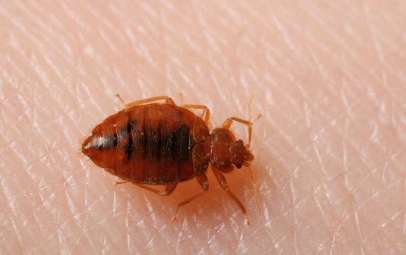 Image result for Everything About Bed Bugs Termination
