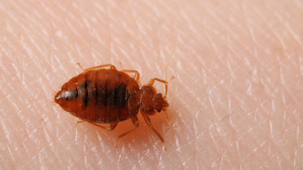Bedbugs aren