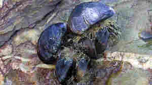 Could Mussels Teach Us How To Clean Up Oil Spills?