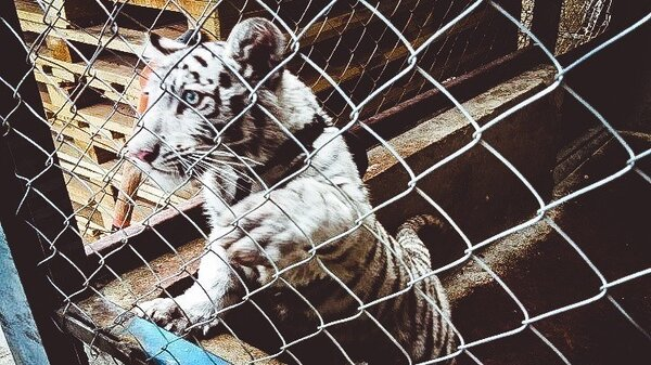 Road inspections in Mexico intercept this white tiger cub concealed in a van.