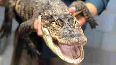 Chance The Snapper Is Snared: Alligator Caught After A Wild Week In Chicago Park