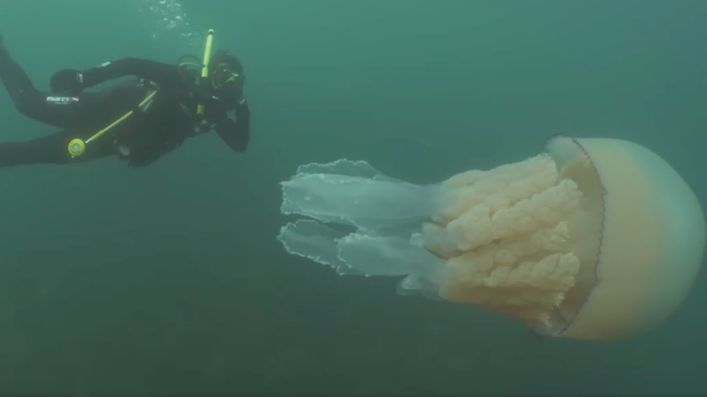 Diver Swims Alongside A Jellyfish That's As Big As A Human