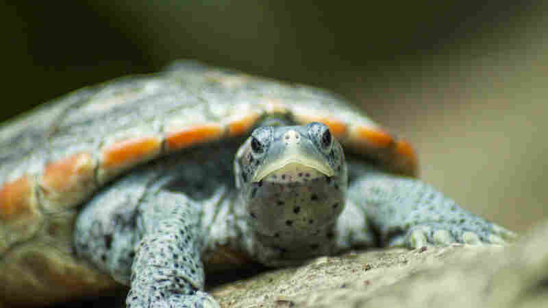 Our Taste For Turtle Soup Nearly Wiped Out Terrapins. Then Prohibition Saved Them