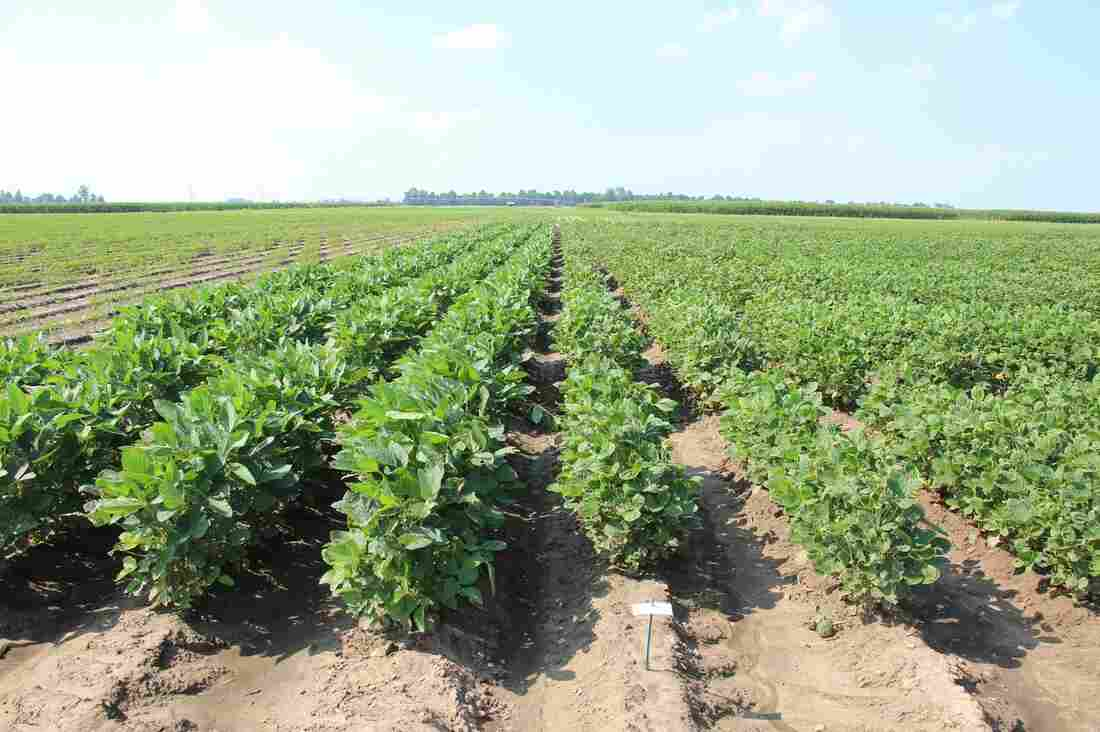 The taller soybean plants (left) are from a commercial dicamba-tolerant variety. On the right, an experimental line of soybeans showing the effects of dicamba exposure.