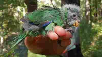 Rare New Zealand Parakeet Population Doubles After 'Epic' Breeding Season