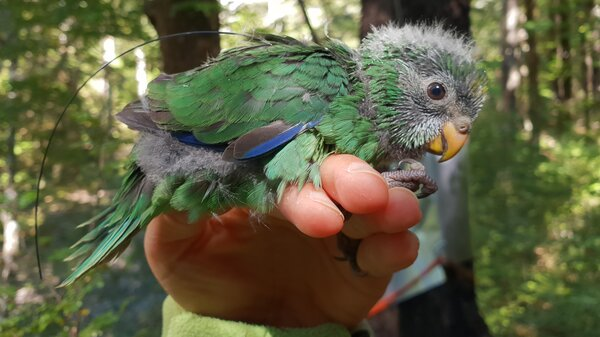 The small bird was believed to have gone extinct but after a bumper crop of beech seeds this year, conservationists estimate the orange-fronted parakeet population has likely doubled.