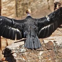 Once Nearly Dead As The Dodo, California Condor Comeback Reaches 1,000 Chicks