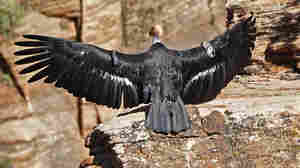 Once Nearly Dead As The Dodo, California Condor Comeback Reaches 1,000 Chicks