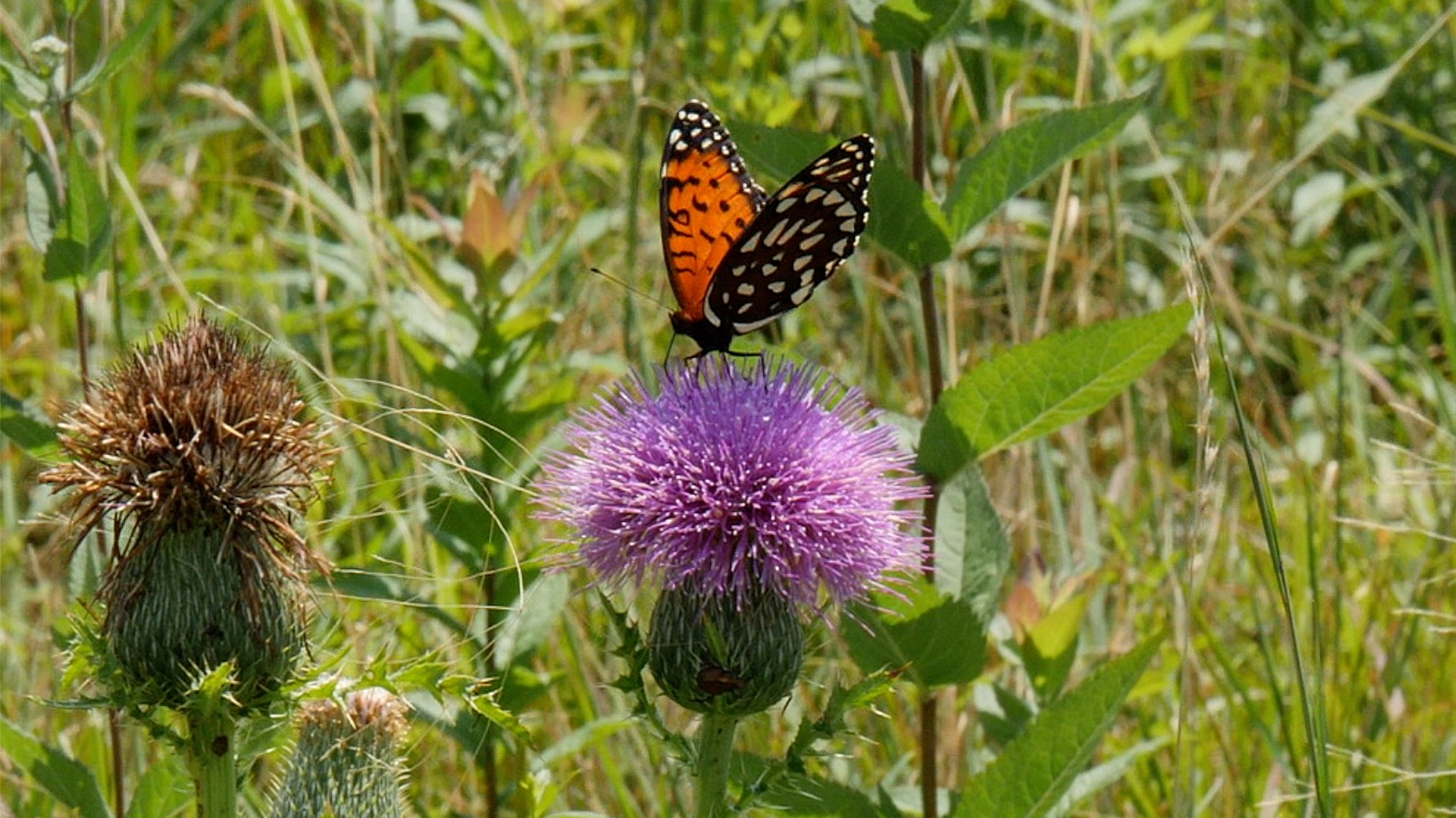 Catching Sight Of A Rare Butterfly In A Surprise Refuge