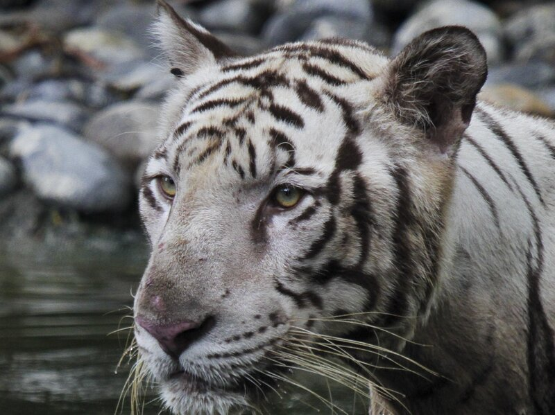 India's Wild Tiger Population Up Some 30% Since 2014
