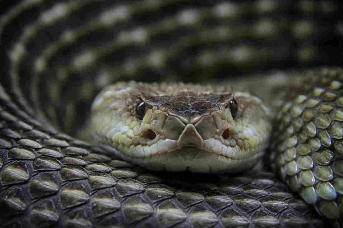 The antivenin market for treating bites from rattlesnakes and other pit vipers might be considered a case study of why drugs prices are so high. Head-to-head competition between brand-name medicines may not meaningfully reduce prices.