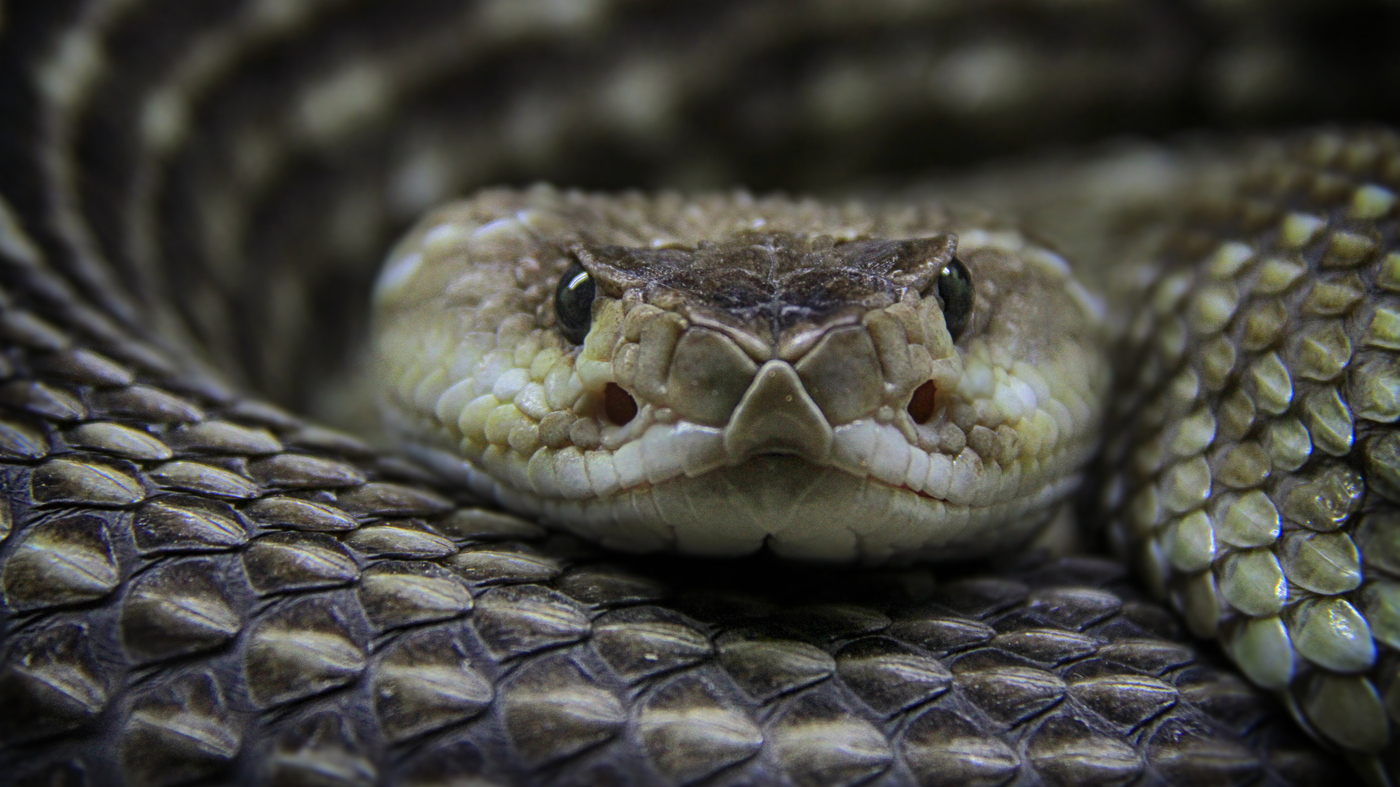 Price Of Snakebite Drugs Still Sky-High, Despite Competition : Shots