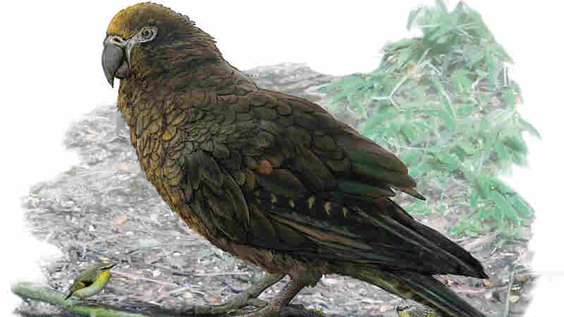 Scientists Discover Prehistoric Giant 'Squawkzilla' Parrot, As Big As Small Child