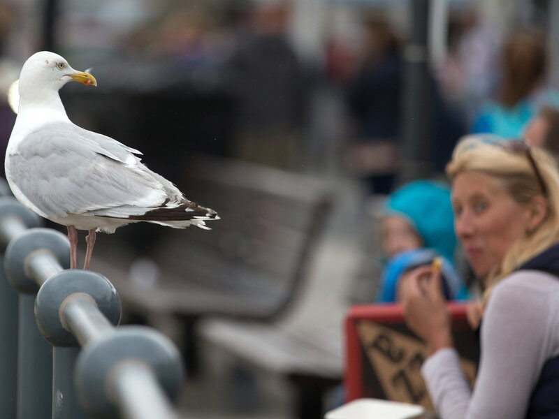 Staring At Gulls Makes Them Less Likely To Steal Your Food