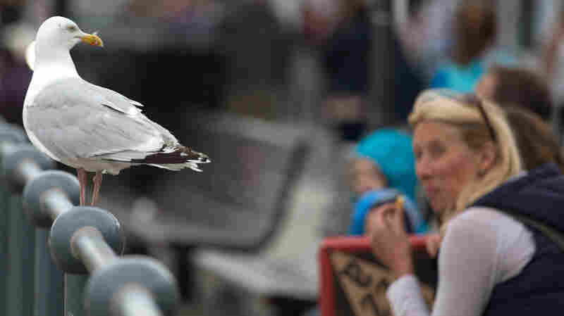 Food-Snatching Gull In Your Vicinity? Study Suggests Making Eye Contact