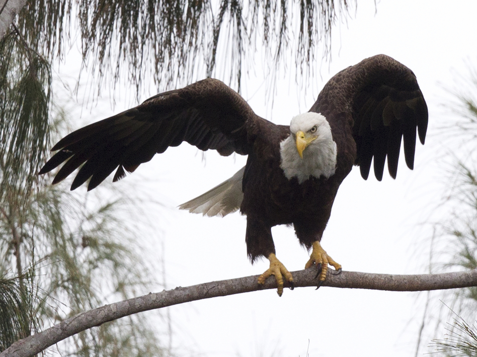 A bald eagle prepares to take off from a pine tree in Pembroke Pines, Fla. The eagle population rebounded after protections put in place under the Endangered Species Act. (Wilfredo Lee/AP)