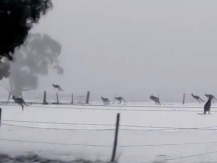 WATCH: Kangaroos Discover Snow