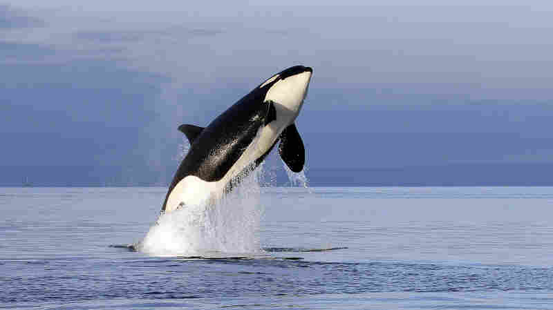 Washington Wheat Farmers Could Be Toast If Dams Are Removed To Help Hungry Orcas