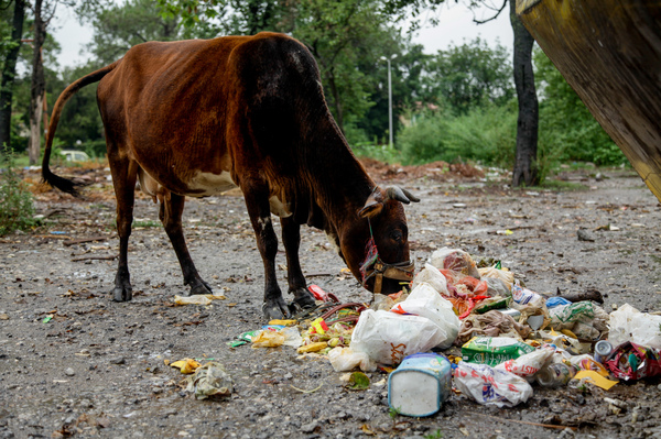 Cows munch on trash-filled plastic bags tossed near a dumpster on the outskirts of Saidpur.