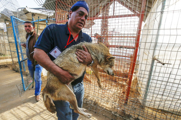 Dr. Amir Khalil, a veterinarian with the animal rescue charity Four Paws International, carries a sedated coyote at a zoo in Rafah in the Gaza Strip, during the evacuation of animals in April.