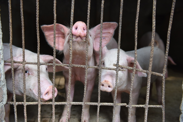 Pigs are seen in a hog pen in Linquan county in central China's Anhui province in July. The number of pigs in China is falling rapidly due to an epidemic of African swine fever.