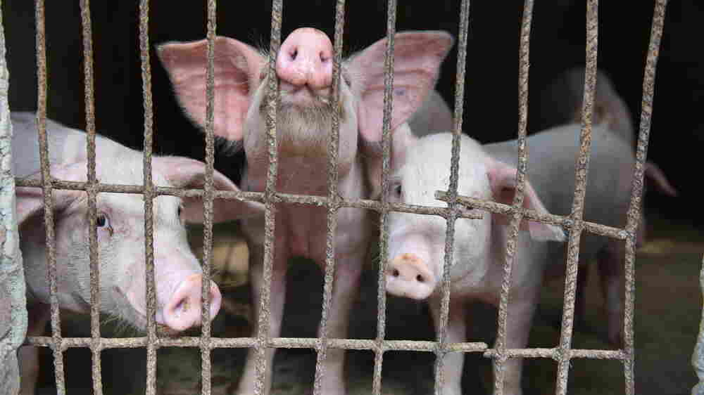 Swine Fever Is Killing Vast Numbers Of Pigs In China