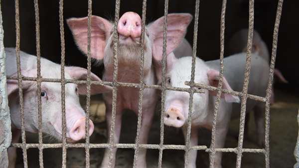 Pigs are seen in a hog pen in Linquan county in central China