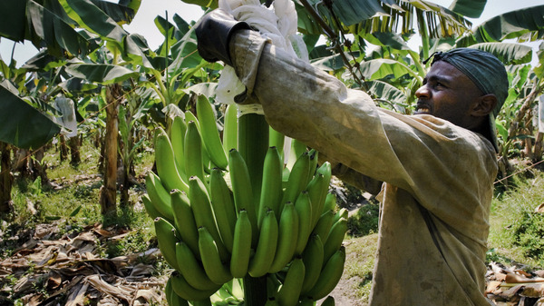 A Colombian worker checks the plastic protection cover over a banana bunch on a plantation in Aracataca, Colombia. A dreaded fungus that has destroyed banana plantations in Asia has now spread to Latin America.