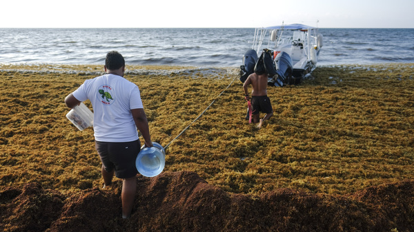 Men walk between the sargassum towards a boat in Playa del Carmen, Mexico, May 2019.