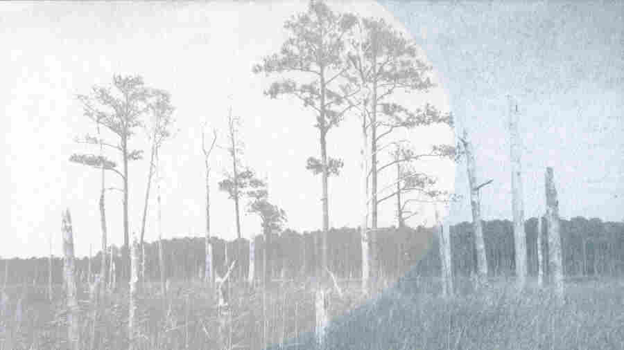 'Painting' The Ghost Forests Of The Mid-Atlantic Coast