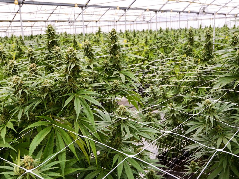 DEA May Soon Allow More Growers To Produce Cannabis For Medical Research :  Shots - Health News : NPR